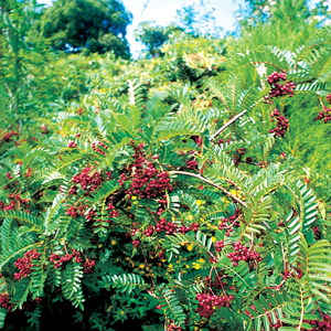 Sorbus rehderiana
